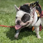 The Colorado Scottish Festival is dog-friendly